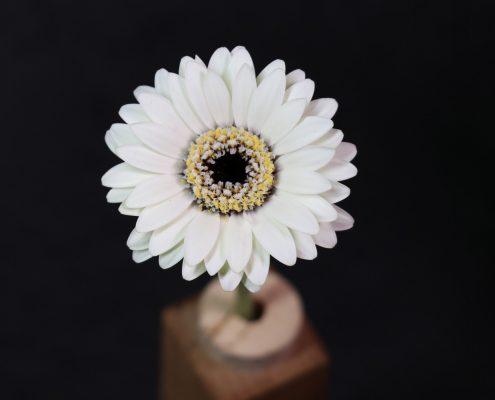 Gerbera Blüte in weiss